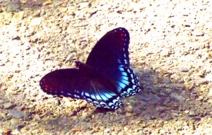 Butterfly on pavement brighter