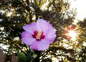 Rose of Sharon cropped