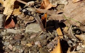 butterfly semi