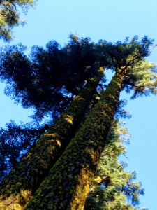 ponderosa pines2